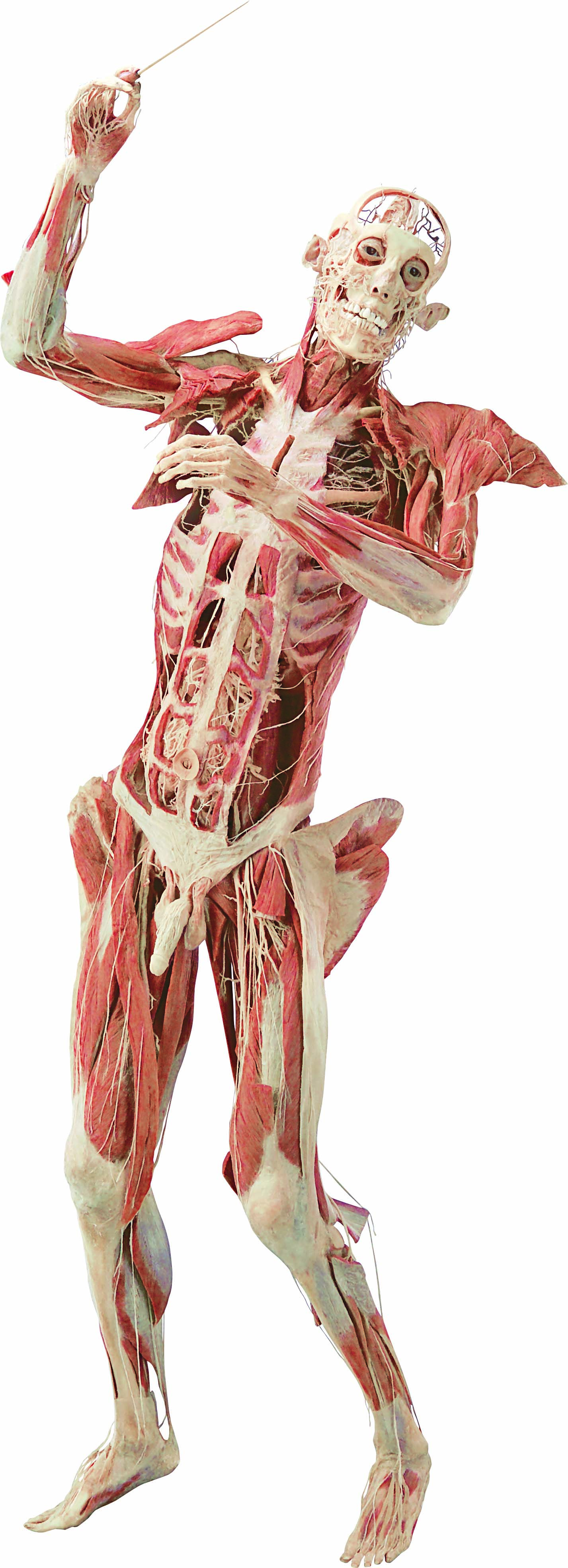 bodies exhibit essay Each body system was addressed in its own individual exhibit, starting with the skeletal system and progressing through the muscular, nervous, circulatory, digestive, respiratory, urinary, and reproductive systems plus an exhibit on fetal development.