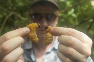 Ben Reade holding two palm weevil larvae in BUGS. Photographer: Andreas Johnsen